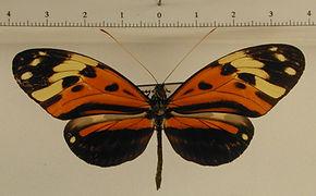 Heliconius numata numata mâle