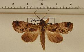 Nystalea forfex mâle