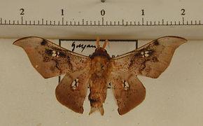 Psychocampa vitreata mâle