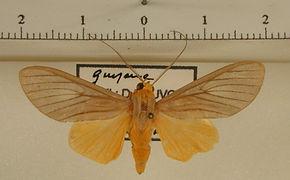 Glaucostola simulans mâle