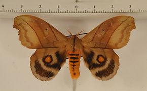Hyperchiria nausica mâle