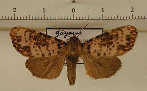 Xanthopastis timais mâle