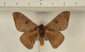 Hylesia gigantex orbana mâle