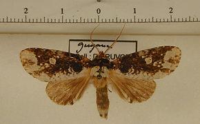 Disphragis aemula mâle