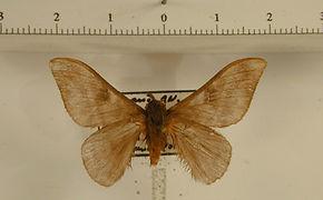 Hylesia humilis mâle