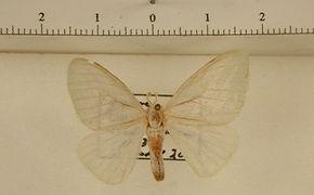 Macara nigripes mâle