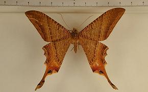 Nothus lunus mâle