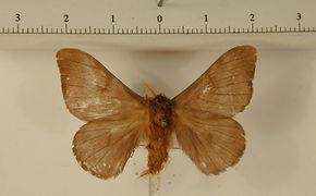 Hylesia athlia mâle