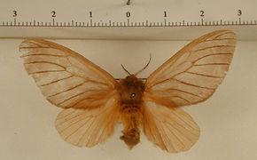 Thoscora omayena femelle