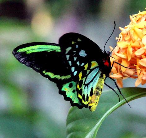 Ornithoptera priamus Papouasie-Nouve