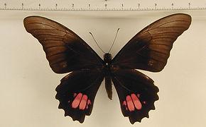Heraclides anchisiades anchisiades mâle