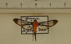 Cosmosoma neleum mâle