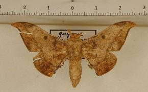 Cicinnus incerta mâle