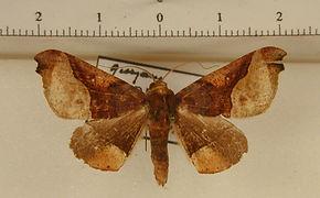 Pero mathanaria mâle