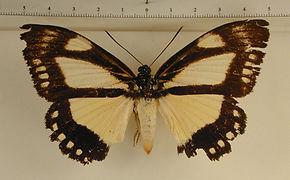 Haemonides cronis cronis mâle