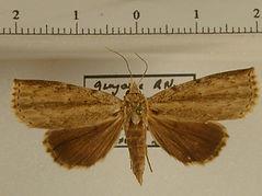 Herminodes sp1 mâle
