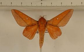Adeloneivaia pelias mâle