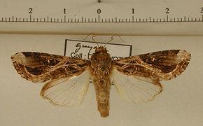 Spodoptera androgea mâle
