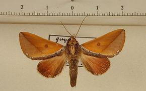 Stophocerus flavus mâle
