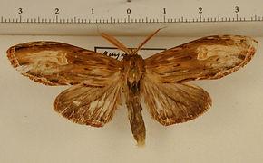 Lirimiris meridionalis mâle