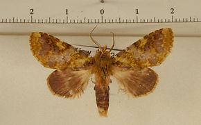 Disphragis livida mâle