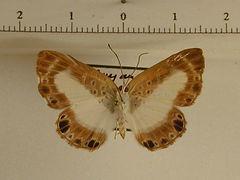 Nymphidium mantus mâle