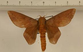 Ptiloscola photophila mâle