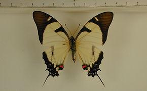 Eurytides callias mâle