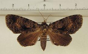 Encruphion xanthotricha mâle
