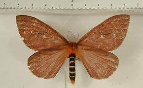 Cerodirphia apunctata mâle