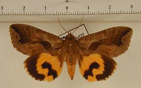 Eudocima collusoria mâle