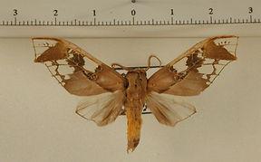 Parathyris cedonulli cedonulli mâle