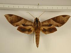 Eumorpha obliquus obliquus mâle