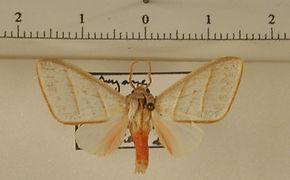 Zatrephes albescens mâle