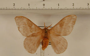Hylesia metabus mâle