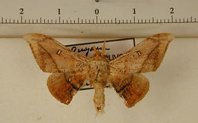 Cicinnus patawaensis mâle
