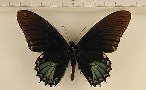 Papilio xanthopleura mâle