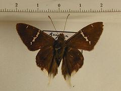 Urbanus virescens mâle