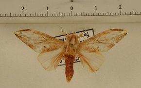 Trichomaplata andromede mâle
