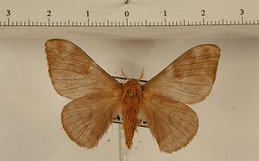 Hylesia cedomnibus mâle