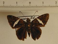 Autochton itylus mâle