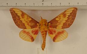 Citheronia laocoon mâle