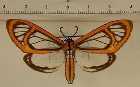 Hyalurga fenestra mâle