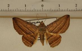 Itomia opistographa mâle