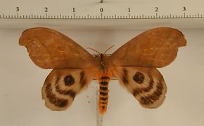 Hyperchiria aniris mâle