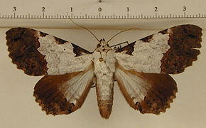 Orodesma senecauxi mâle