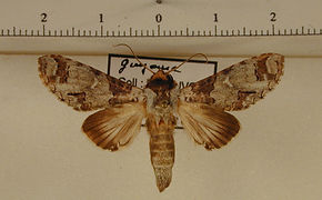 Sericochroa hymen mâle