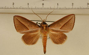 Strophocerus sericea mâle