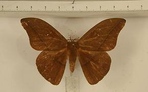 Lonomia achelous diabolus mâle