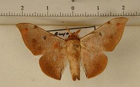 Cicinnus beneluzi mâle